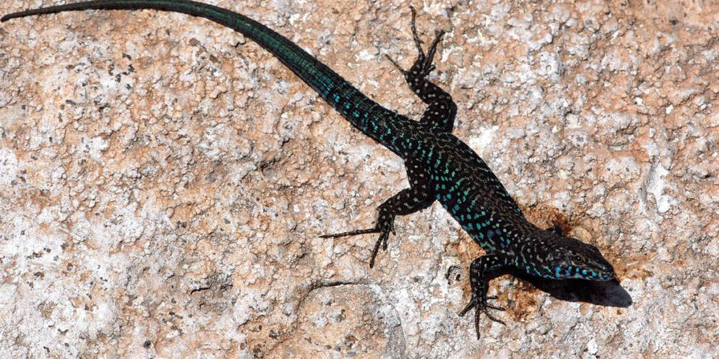 Molarottto's blue lizard