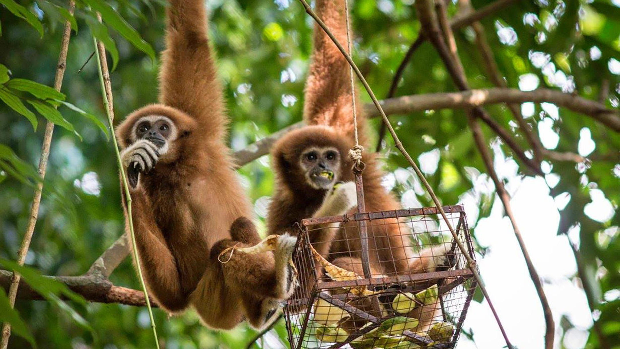 A day with the gibbons